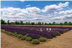 Voňavá farma Levanduland úspešne rozširuje výrobu
